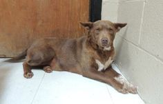 And now the amazing story of saving Grace after her fall from grace with a rescue. Grace is an approximately 18-month-old Australian Kelpie mix who arrived on April 8th at the Chester County Animal Care & Control shelter in South Carolina. Not only was Grace heartworm positive, but also pregnant! She needed a rescue, and fast.