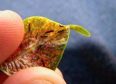 Это очень маленькие насекомые, которые просто захватывают все растение. Чаще всего, они располагаются на внутренней стороне листьев.
