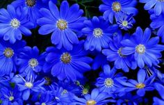 30 SEEDS. FELICIA HETEROPHYLLA IS ONE OF THE FEW FELICIAS WITH ENTIRELY BLUE DAISY FLOWERS.IN CONTRAST TO OTHER FELICIAS THAT HAVE YELLOW CENTERS. BLUE DAISY IS EASILY GROWN FROM SEED. WILL MAKE A MOST CHARMING ADDITION TI THE FLOWER GARDEN OR AS A MASS PLANTING.   eBay!