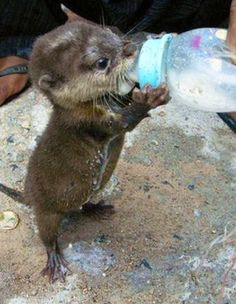 Sweet Baby Otter, Gah! Can't handle it