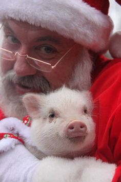Did you ask Santa for a teacup pig? Three Little Pigs, This Little Piggy, Wonder Zoo, Animals Beautiful, Cute Animals, Cute Piglets, Small Pigs, Teacup Pigs, Mini Pigs