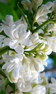 White Lilac close up . Moon Garden, Dream Garden, White Roses, White Flowers, Amazing Flowers, Beautiful Flowers, White Gardens, Belleza Natural, Garden Inspiration