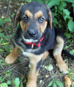 Stella the Bernese Mountain Dog / German Shepherd / Labrador Retriever Mix