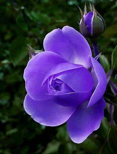 Beautiful Flowers, Most Beautiful, Single Rose, Purple Flowers, Different Colors, Planters, Herbs, Leonardo Dicaprio, Pretty