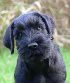 ... Just too cute! Black Standard Schnauzer puppy