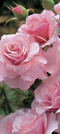 "Pink Flowers : Rose ""Our Lady"" - Flowers.tn - Leading Flowers Magazine, Daily Beautiful flowers for all occasions Beautiful Pink Roses, Romantic Roses, Love Rose, Pretty In Pink, Perfect Pink, Beautiful Gorgeous, All Flowers, My Flower, Pretty Flowers"