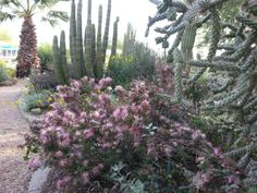 Pink Fairy Duster and Assorted Cacti-Glendale Xeriscape
