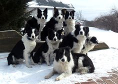 You could say it's a plethora of border collies...