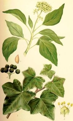 Efeu (Hedera) .- careful! Will spread wildly and climb trees, hedges etc