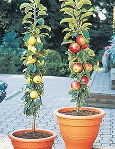 Fresh fruit growing on the patio #OKLsummer Columnar Apples, 2 Trees by NORTHWOODS NURSERY, http://www.amazon.com/dp/B007PFAKXA/ref=cm_sw_r_pi_dp_SsyTpb05E08XP