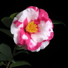 Camellia japonica 'Iwane-shibori'