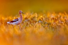 american avocet probing - Google Search