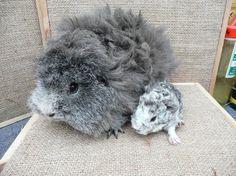 Image result for guinea pig babies merino texel