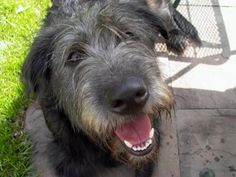 Someday I would like to try a Giant breed again...I would like an Irish Wolfhound and I would name him Seamus.
