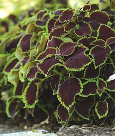 Coleus, Chocolate Mint. Ideal annual for shady parts of the yard. 1 pkt (25 seeds) $4.95
