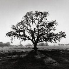 Ansel-Adams-Oak-Tree-Sunrise-California