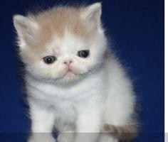 Gatito hermoso http://venta-mascotas.vivastreet.com.mx/comprar-mascota+mitras/gatitos-exoticos/49748459
