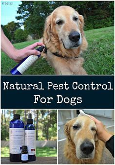 Fleas, ticks and mosquitoes can be dangerous for your pet. Learn more about natural pest control options for protecting your dog.