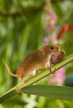 beautymothernature:  Mama Mouse  Her Bab share moments