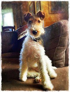 Dog Wire Foxterrier. What a very handsome boy.