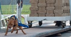 """Critics divided on controversial sport of dog """"weight-pulling"""" - Dogtime Dog Playground, Animal Action, Dog Weight, Call Of The Wild, American Pit, Pitbull Terrier, Mans Best Friend, The World's Greatest, Pet Dogs"""
