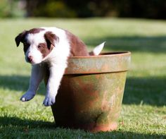 Using props on a pet photography shoot does add variation to the theme, and here the collie puppy has been captured trying to extract himself from the plant pot.