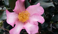 Cleopatra camellia  sasanqua. Fall winter blooming, semi-double rosy pink.