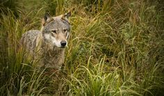 Wolf by Kine on Kristiansand, Beautiful Wolves, Panther, Wolf, Pictures, Animals, Photos, Animales, Animaux