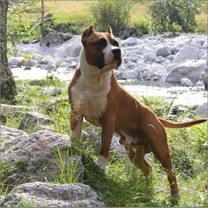 American Staffordshire Terrier (Amstaff) 24