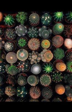 moonbeams and stars Cactus Seeds, Succulents, Plants, Etsy, Stars, Random, Succulent Plants, Sterne, Plant