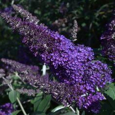 Buddleja 'Ascot Violet' | Lambley Nursery