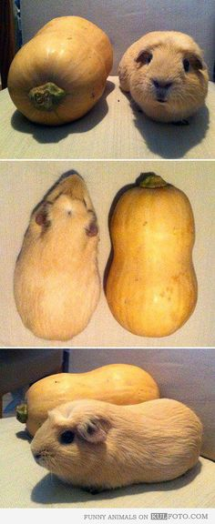 Look alike: Guinea pig and Butternut squash