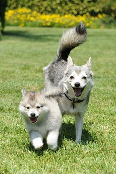 Alaskan Klee Kai. Just love these dogs. Please check out my website thanks. www.photopix.co.nz
