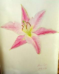 The 2nd color pencil painting Lily flower in my life. LOL... Have a nice day everyone!