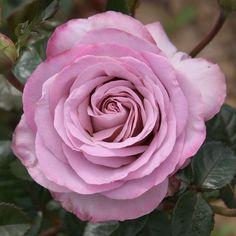 Rosen online kaufen | Blue Girl | rosenpark-draeger.de