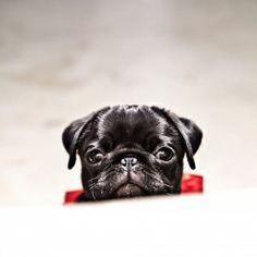 Little pug!