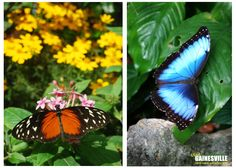 Just in time for football season, see the most orange and blue butterflies ever displayed in the Butterfly Rainforest at the @Florida Museum! And UF students get in free with their student ID now through Sept. 30. #butterflies #gators #uf
