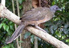 Plain Chachalaca Ortalis vetula - Google Search