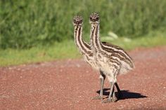 Emu Young