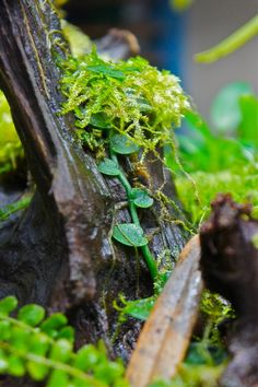 Rhaphidophora sp. and moss