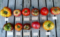 Comparison of tomatoes planted approximately the same time. Clockwise from top left - Virginia Sweet, Mortgage Lifter, Big Beef, Carbon, Italian Heirloom, Stump of the World, Goldie, Hungarian Heart, Paul Robeson, Cosmonaut Volkov, Cherokee Purple.