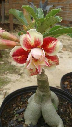 Orchid Plants, Foliage Plants, Orchids, Cacti And Succulents, Planting Succulents, Planting Flowers, Desert Rose Plant, Desert Plants, Bonsai Art