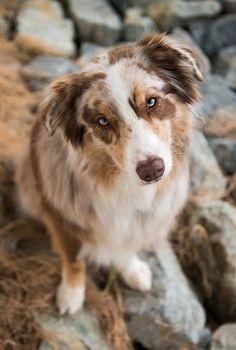 Australian Shepherds, Australian Shepherd Puppies, Aussie Puppies, Cute Puppies, Cute Dogs, Dogs And Puppies, Doggies, Teacup Puppies, Corgi Puppies