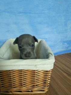 Italian Greyhound Puppies, Plastic Laundry Basket, Wicker, Loom