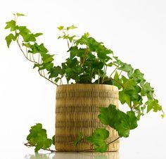 10 Plantas Purificadoras de Aire para eliminar Toxinas -La Hiedra inglesa es una de las preferidas de la Nasa por su gran capacidad a la hora de eliminar las toxinas del: Formaldehído Tricloroetileno Benceno