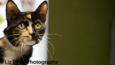 Vanah 18008 is an adoptable Domestic Short Hair Cat in Prattville, AL. � Vanah is two year old tortie. She has been spayed. This little gal is nothing but sweetness. You pick her up and she wants to b...