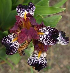 Rayos Adentro Tall Bearded Iris.