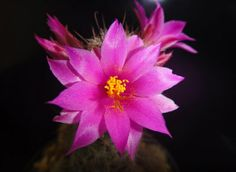 Mammillaria mazatlanensis --