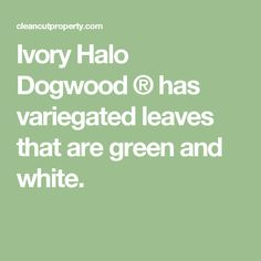 Ivory Halo Dogwood ® has variegated leaves that are green and white.