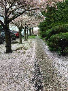 Vancouver's got one of the most amazing view of Sakura in the world~